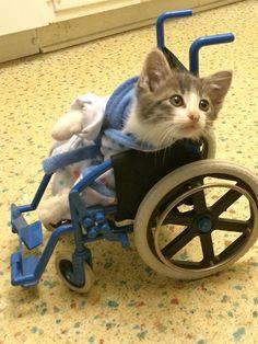 cat sitting in wheelchair