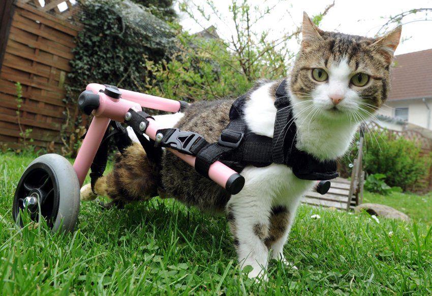 cat with pink wheelchair