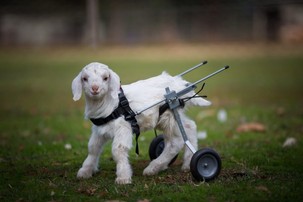 goat with wheelchair