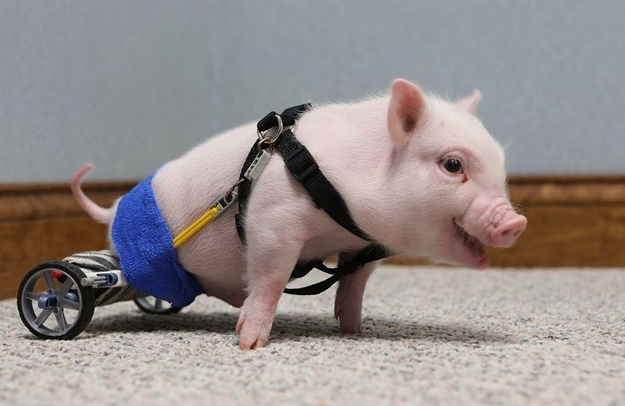 pig with wheelchair