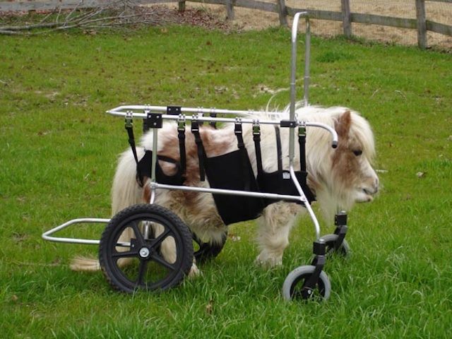 pony with wheelchair