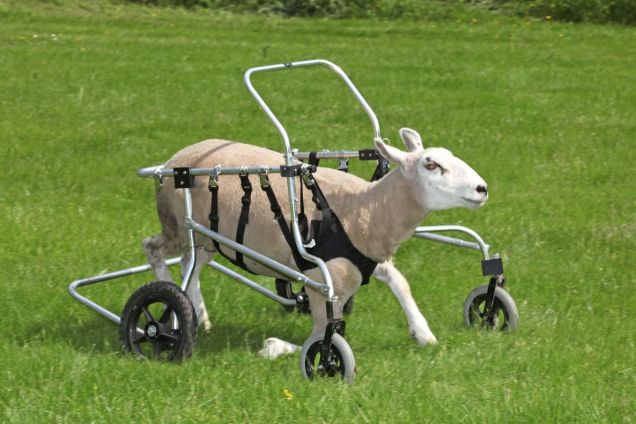 sheep with wheelchair