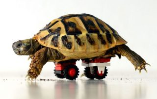 animal wheelchairs: turtle with wheelchair